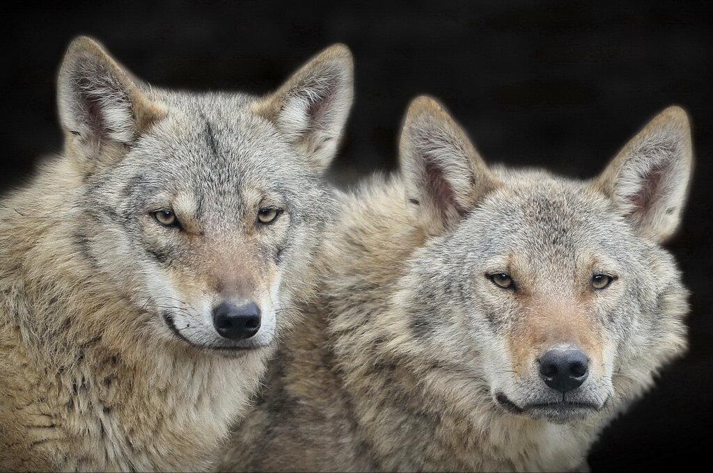 Матерый с волчицей