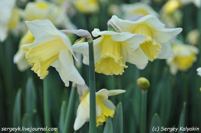 Narcissus Paloma Blanca.JPG