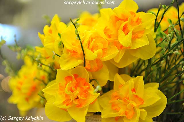 Narcissus Spring Sun.JPG