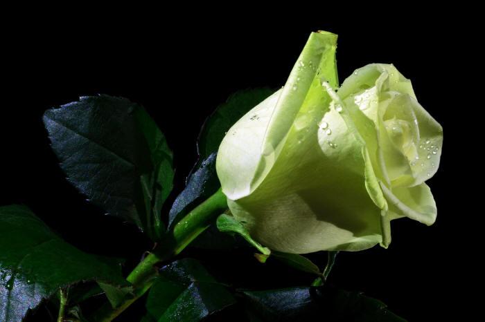 красива зелена троянда