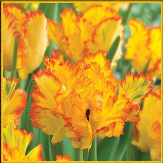 Помаранчевий махровий тюльпан