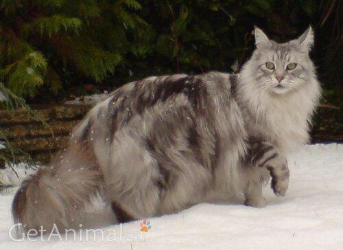 взрослый кот мейкун