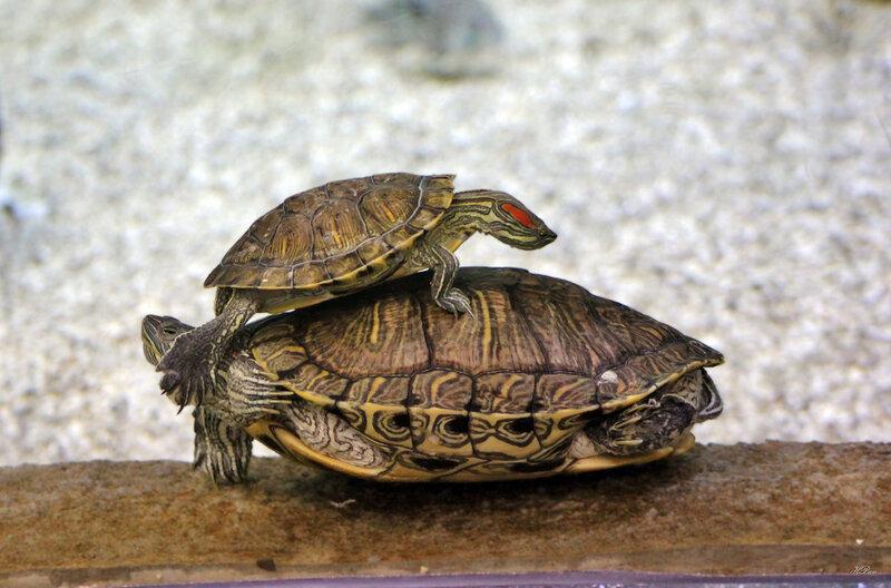 Черепахи веселятся