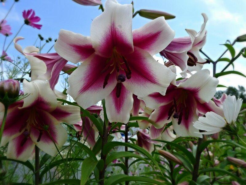 Лилия ОТ-гибрид Гарден Плеже (Garden Pleasure)