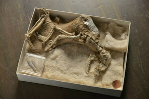 Скелет ископаемой собаки рода Archaeocyon возрастом 30 миллионов лет из Американского музея естествознания