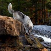 Волк у реки