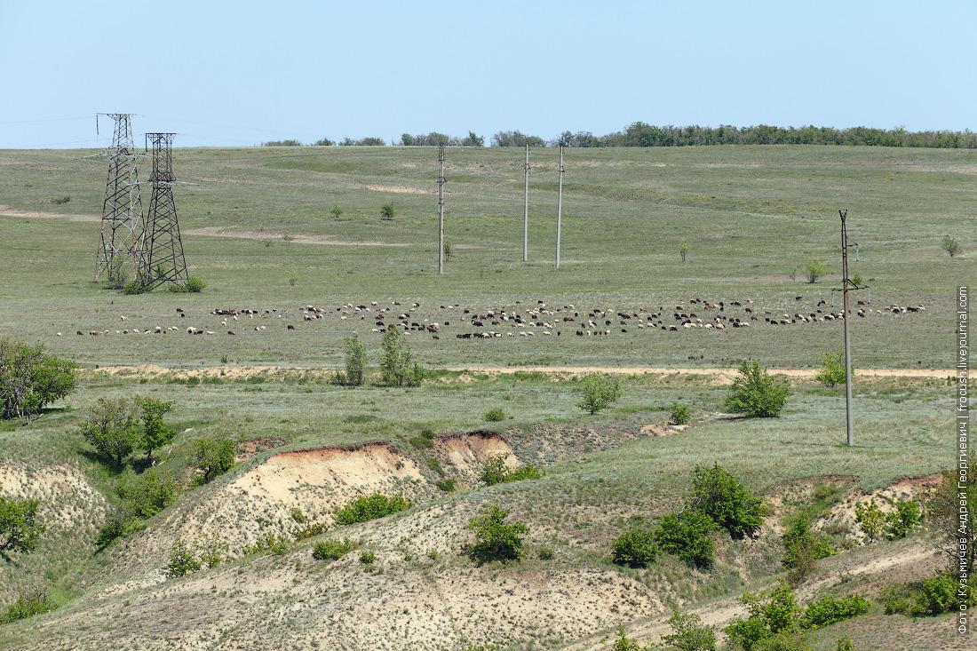 Камышинские уши отара овец
