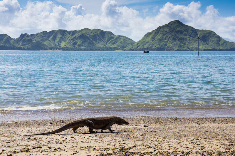 Komodo dragon at the beach, Varanus komodoensis