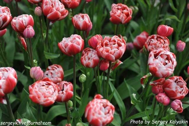 Tulipa Drumline (5).JPG