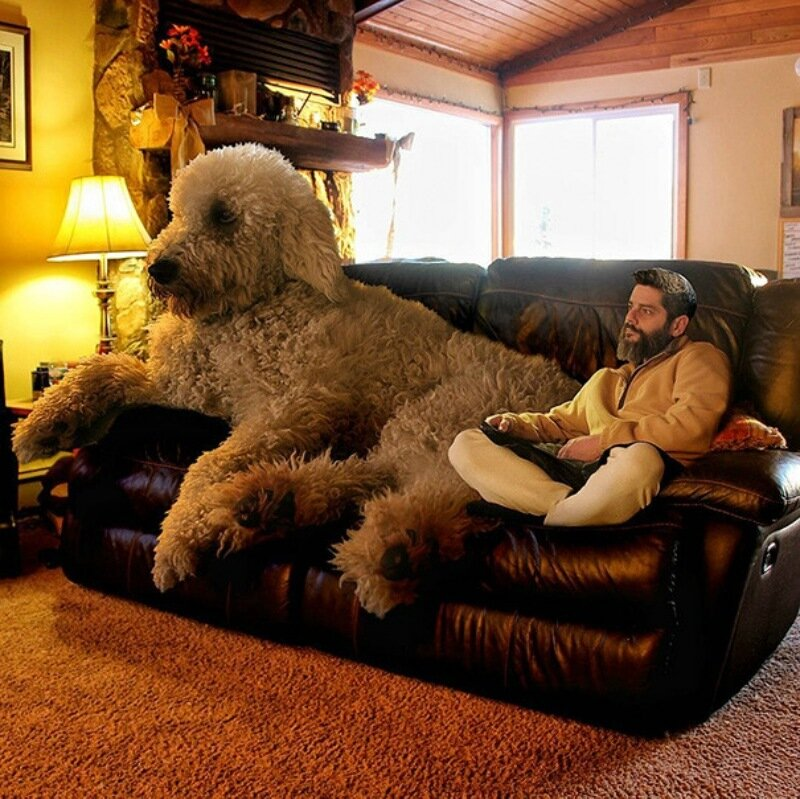 Американский фотограф завёл себе гигантскую собаку породы голдендудль