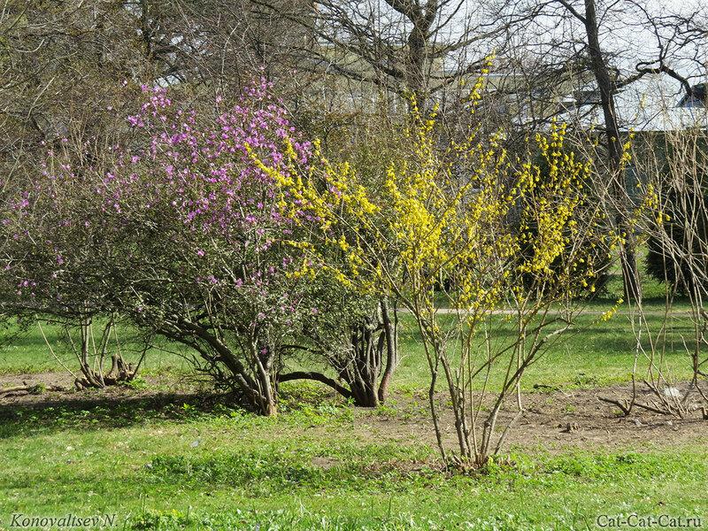 Рододендроны даурский и желтый