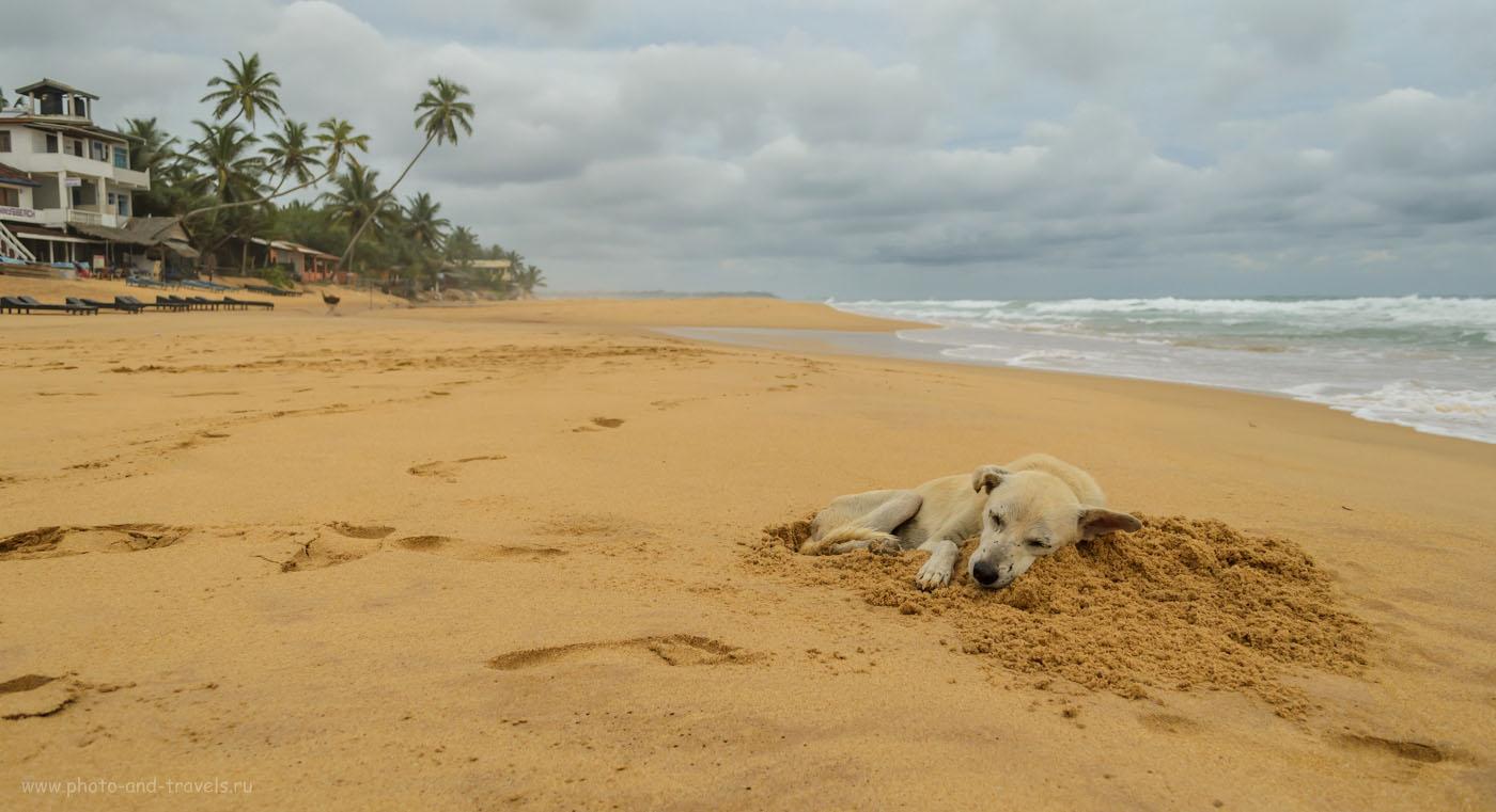 Фотография 11. На Шри-Ланке на пляже Hikkaduwa даже собаки счастливые!.. Отчеты туристов о поездке на отдых самостоятельно. Погода на острове в мае.
