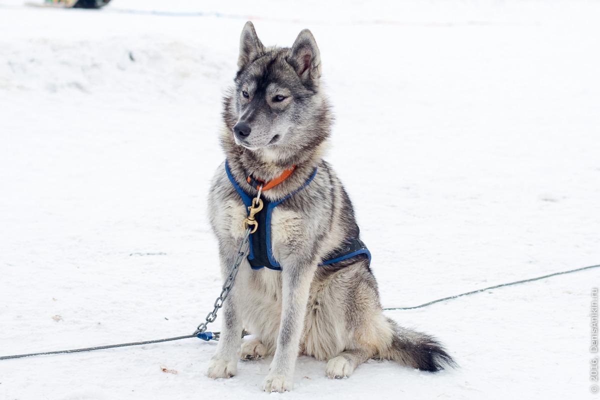 Питомник сибирских хаски DogWinter 27