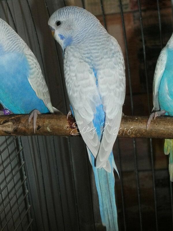 Продам птенцов волнистого попугая. Киев 0_c343b_c973235f_XL
