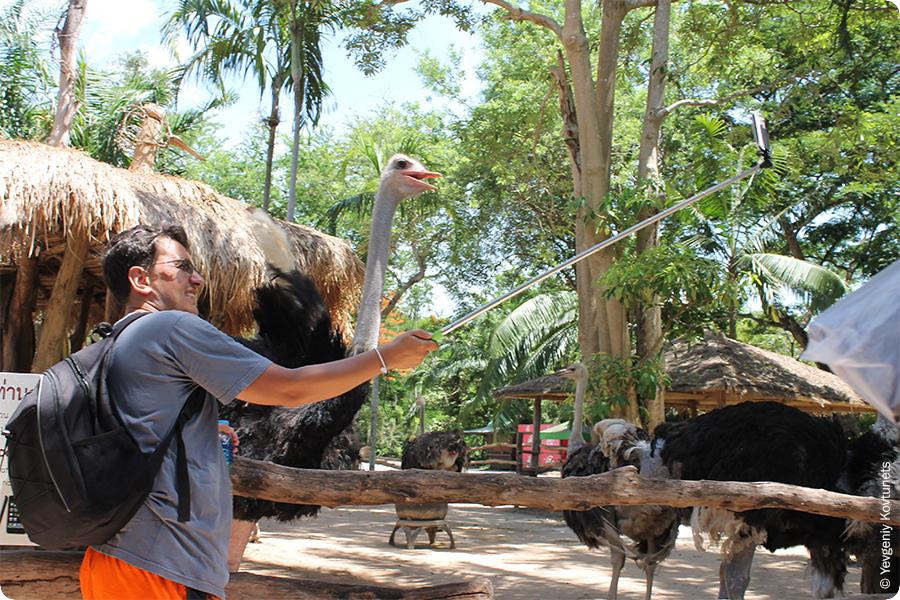Селфи со старусом в зоопарке Кхао-Кхео. Смертельный трюк.