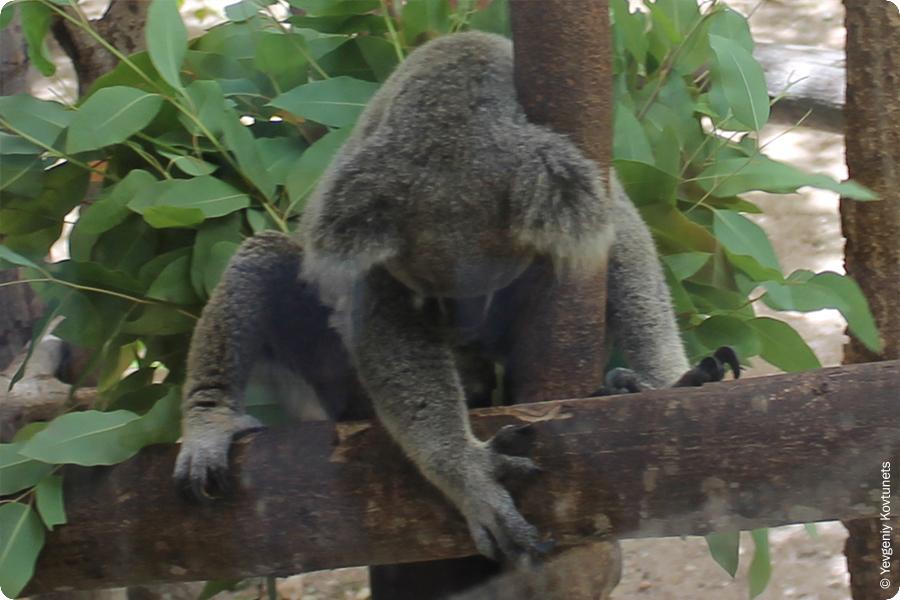 спящая коала в контактном зоопарке Кхао-Кхео, Тайланд