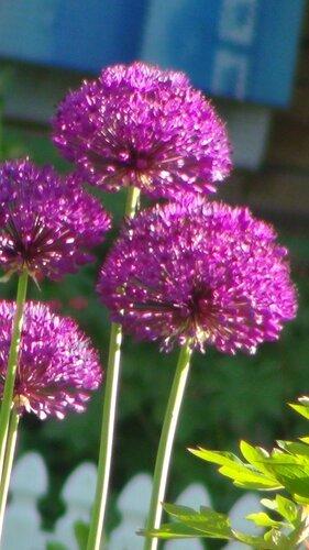 цветы лука