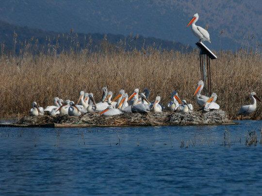 Кудрявый пеликан на Скадарском озере