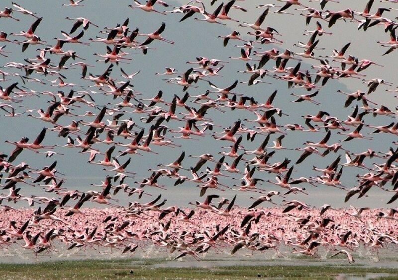 Миллионы розовых фламинго на озере Накуру, Кения