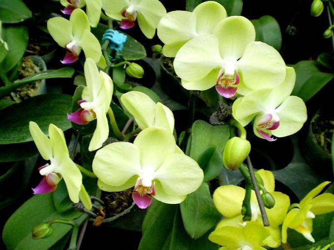 багато зелених орхідей