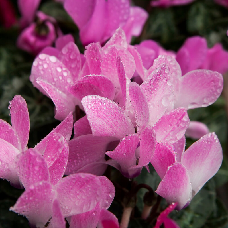 close-up of soft pink cyclamen persicum with rain drop