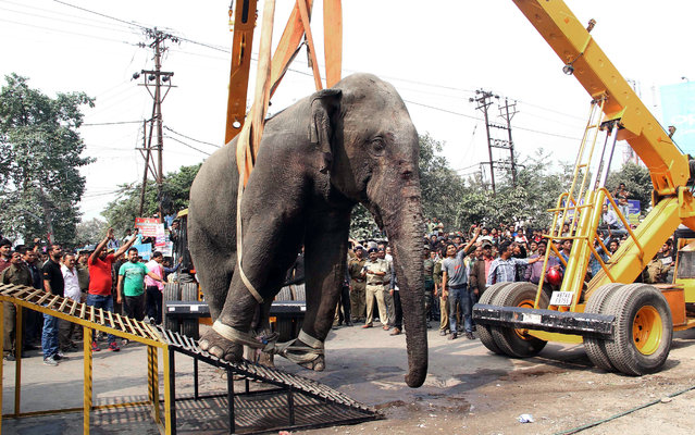 Authorities use a crane to remove a wild elephant that strayed into the town after tranquilizing it