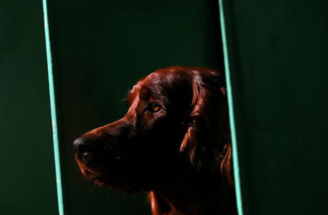 An Irish Setter stands on its bench during the second day of the Crufts Dog Show in Birmingham, Brit