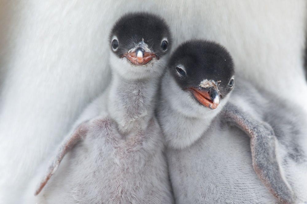 21. Пусть у всех будет свой друг-пингвин! (© Richard Sidey)