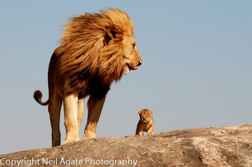 Король Лев. Автор фото: Нил Агат