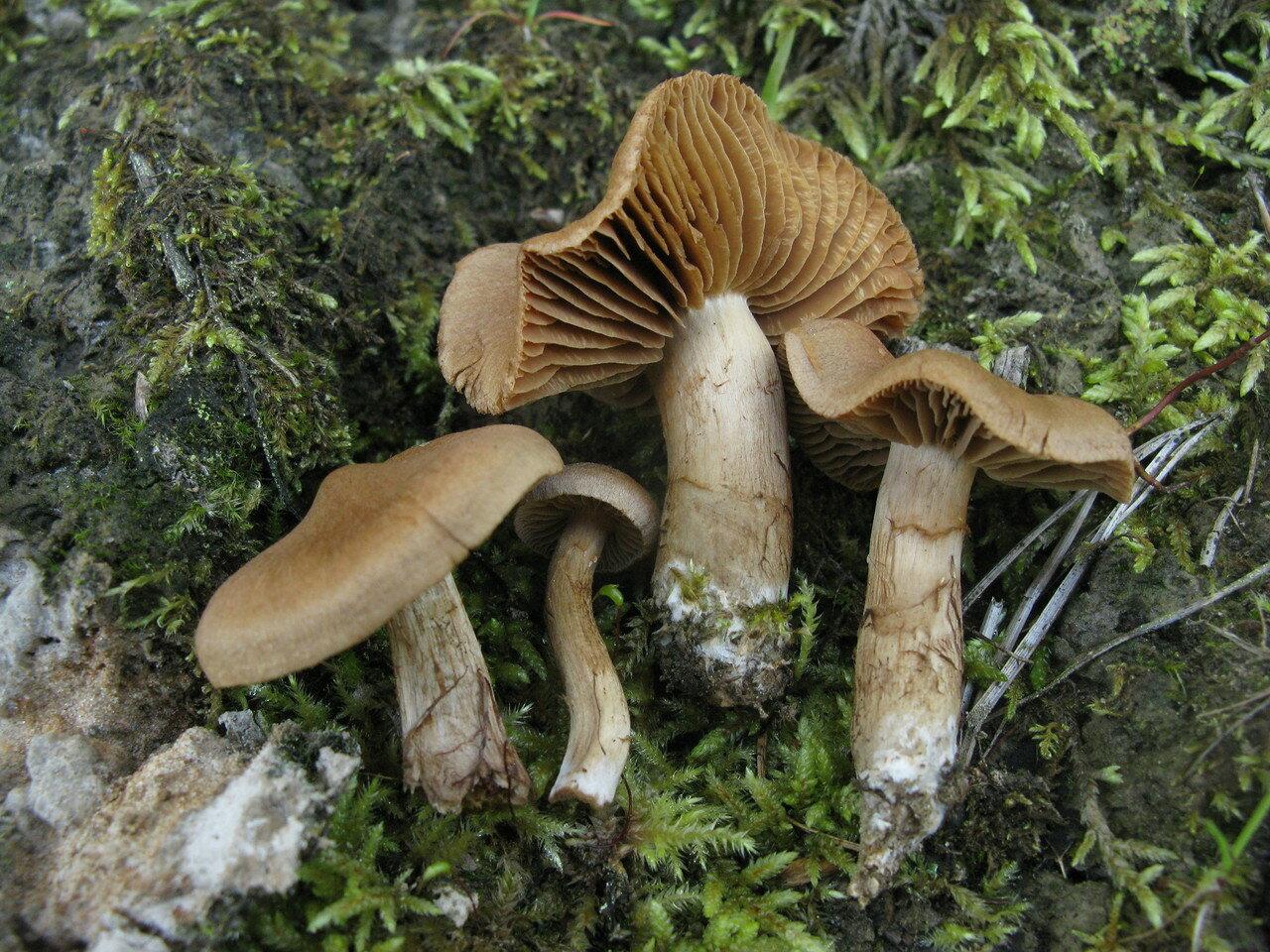 Паутинник редечный (Cortinarius betuletorum). Автор фото: Станислав Кривошеев