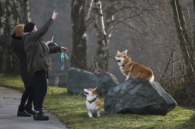Women photograph Corgis as they arrive for the second day of the Crufts Dog Show in Birmingham, Brit
