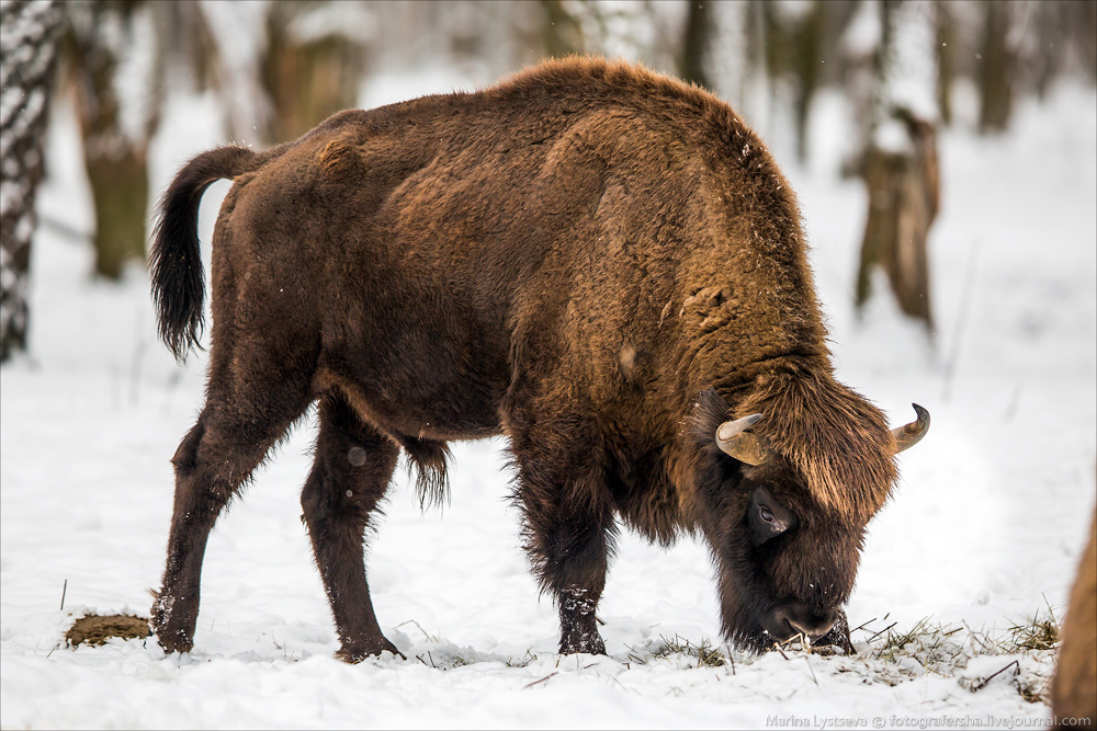 Зубр или бизон?