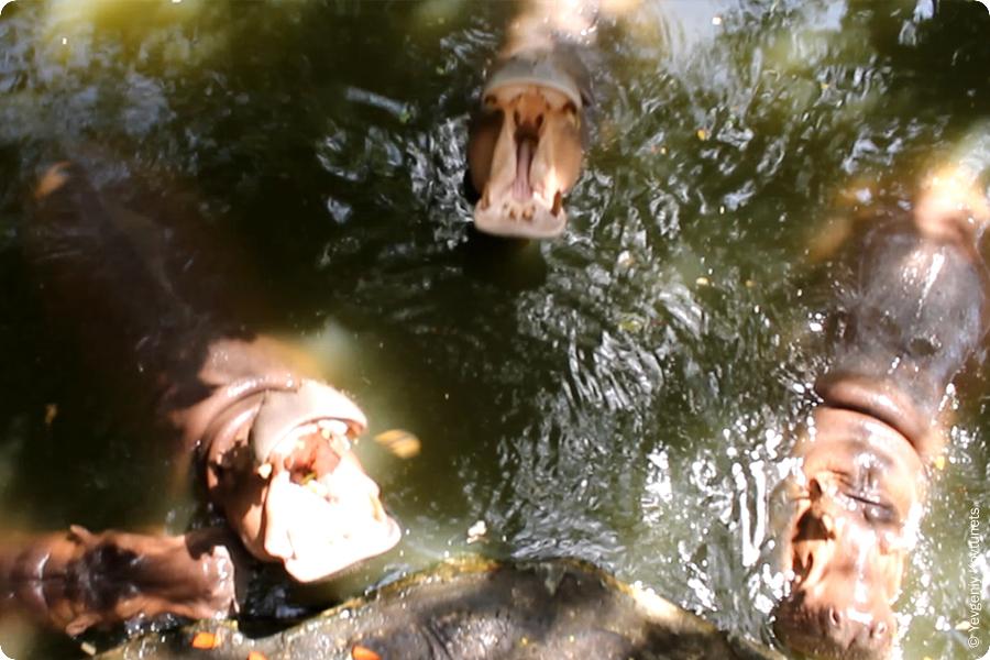 Кормление бегемотов с моста. Зоопарк Кхао-Кхео в Тайланде
