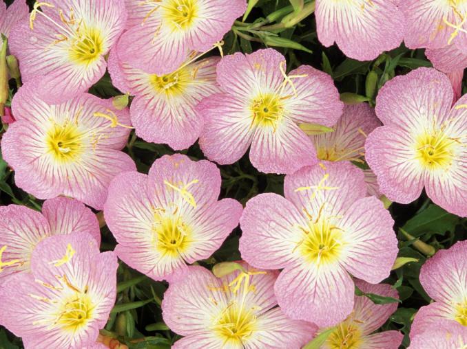 біло-рожеві квіти