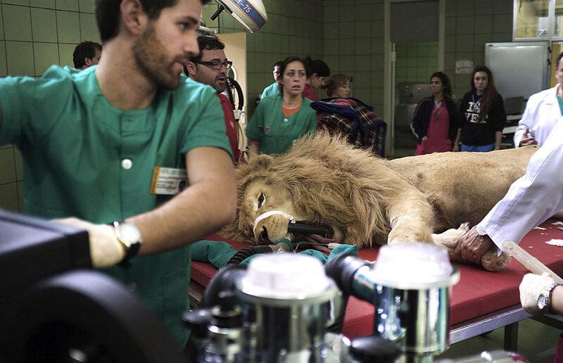 Удаление клыка льву   две редкие фотографии