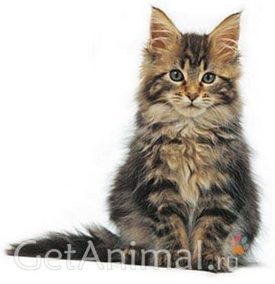 котенок мейкун