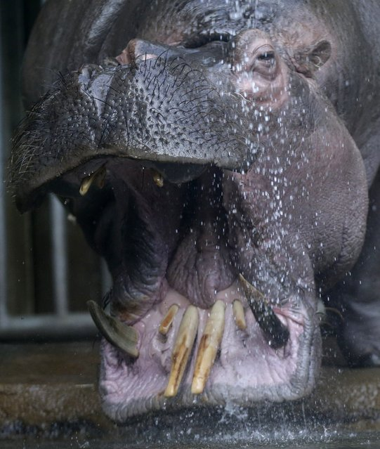 A hippo named Slavek is sprayed with water in its enclosure at the zoo in Prague, Czech Republic, We