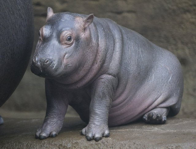 A newborn baby hippo sits in its enclosure at the zoo in Prague, Czech Republic, Wednesday, February