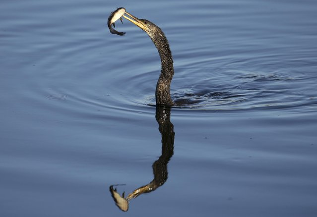 An anhinga catches a fish in a pond off the 11th green during the second round of the Honda Classic