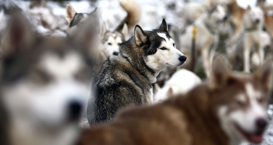 Competitors and teams prepare for the 27th annual Aviemore Husky Sled Dog Rally beside Loch Morlich