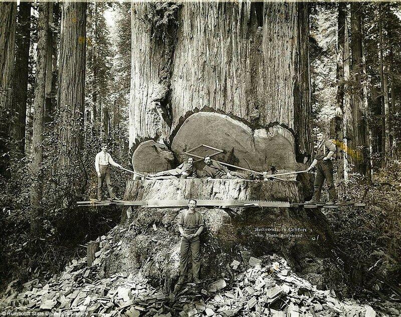 Рубка красного дерева в Калифорнии.