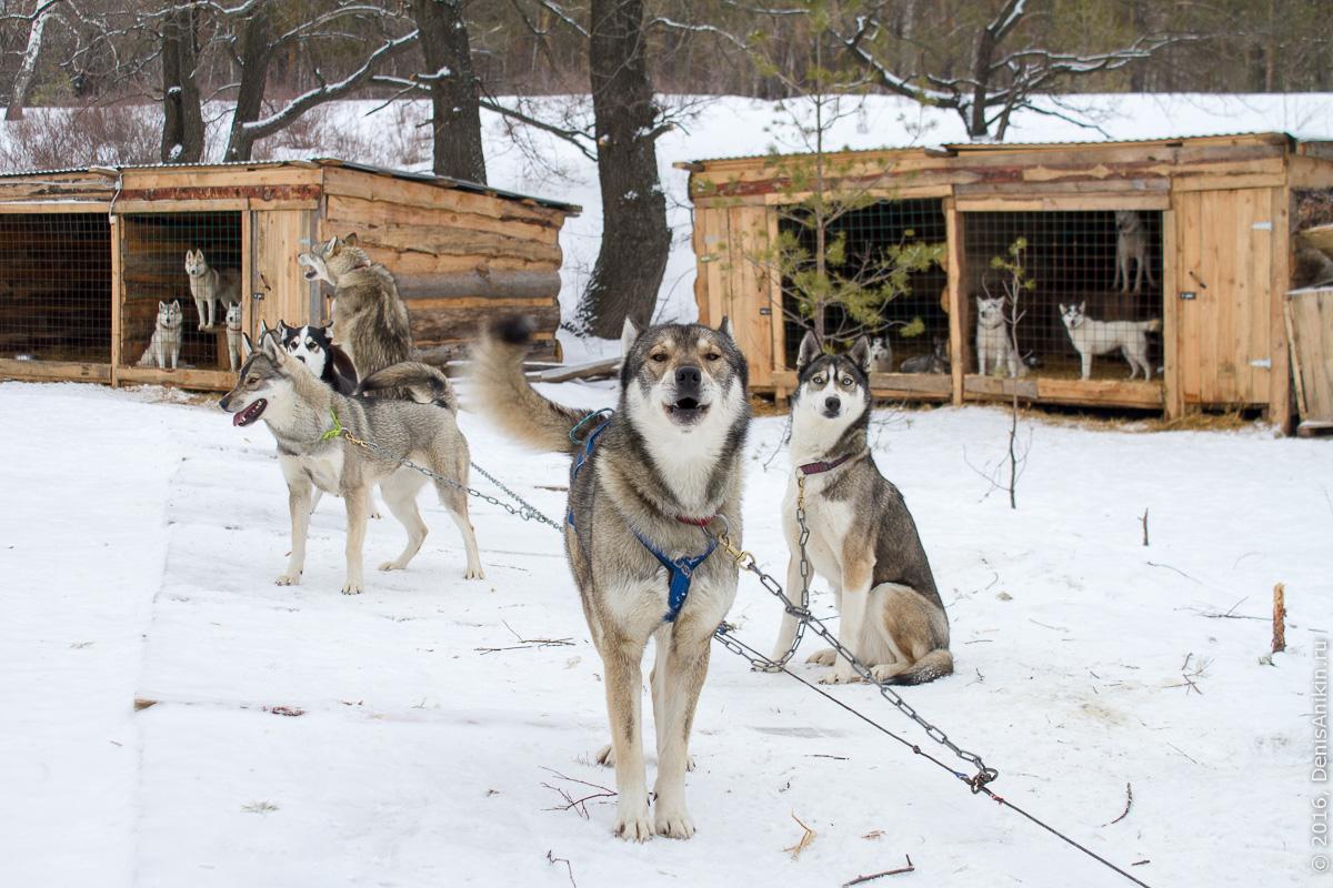 Питомник сибирских хаски DogWinter 3