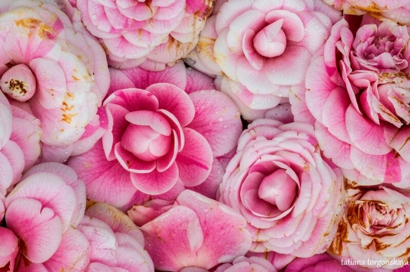 Розовые камелии