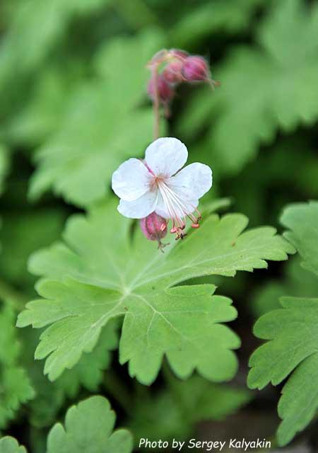Geranium macrorrhizum Spessart (5).JPG