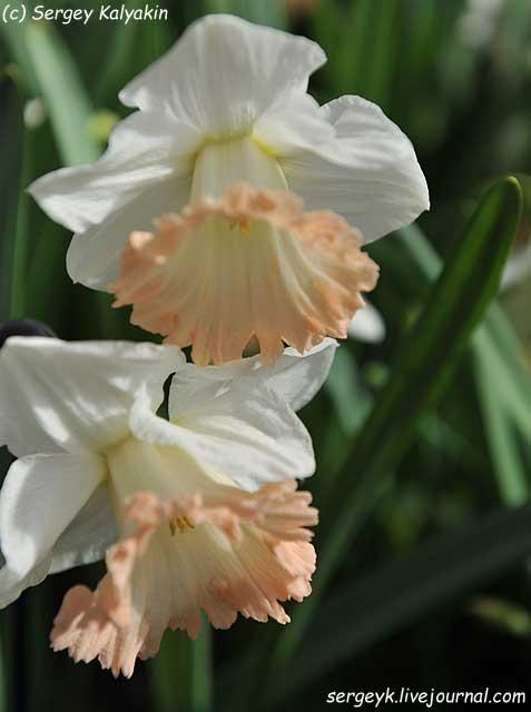Narcissus British Gamble (1).JPG