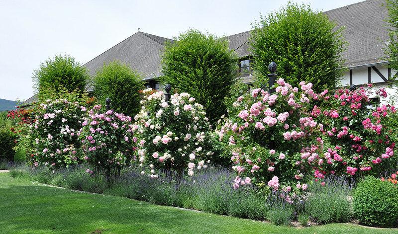 Группа роз на садовых опорах.