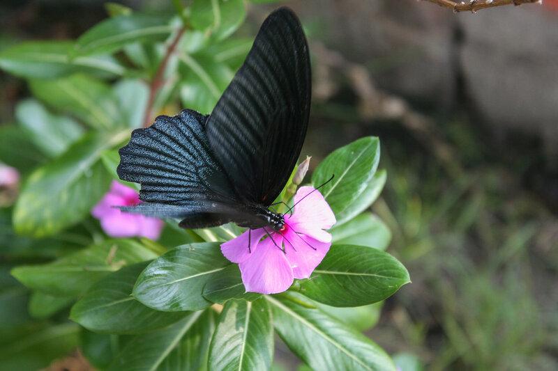 Тропическая чёрная бабочка на цветке