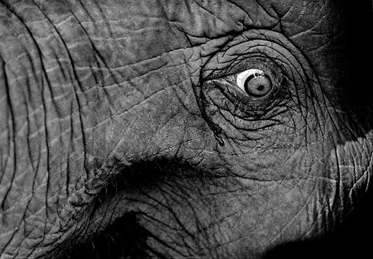1. Слеза бежит из глаза слона, которого три дня продержали в деревянном станке на тайско-бирманской
