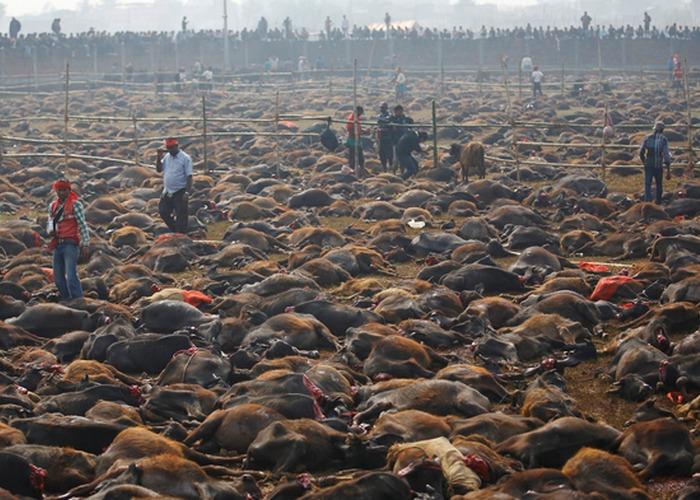 Возможно, самое большое жертвоприношение животных в мире происходит во время фестиваля Гадхимаи в Не