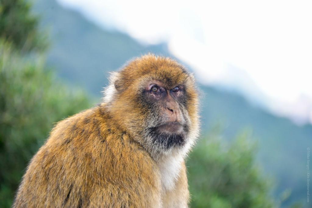 Главные обитатели Гибралтарской скалы
